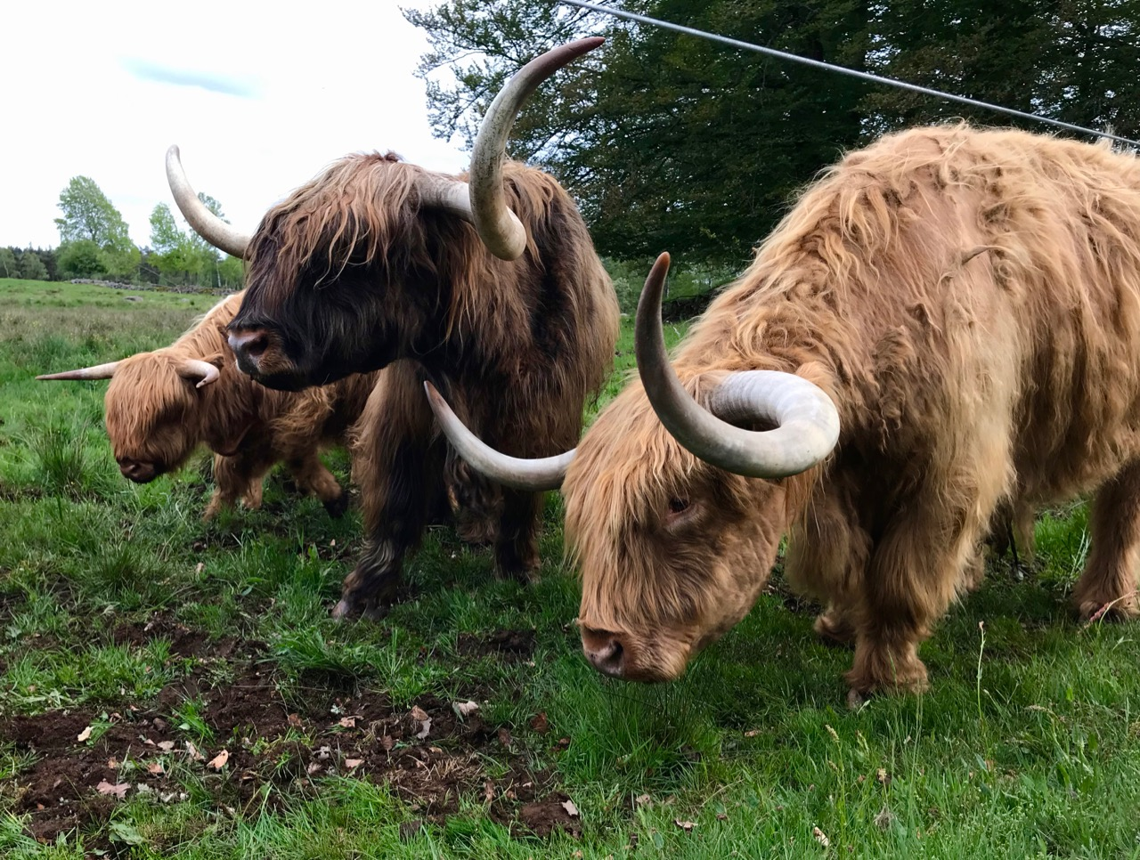 Highland cattle Åslunga