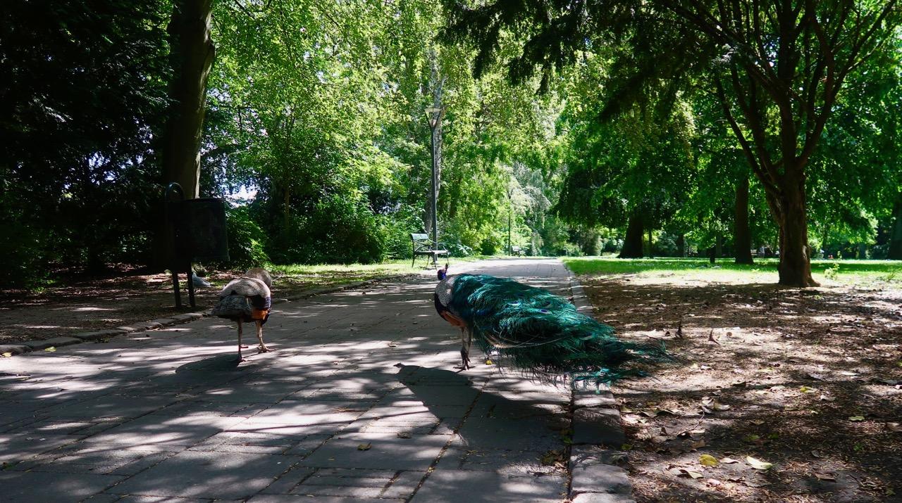 påfåglar Trelleborg
