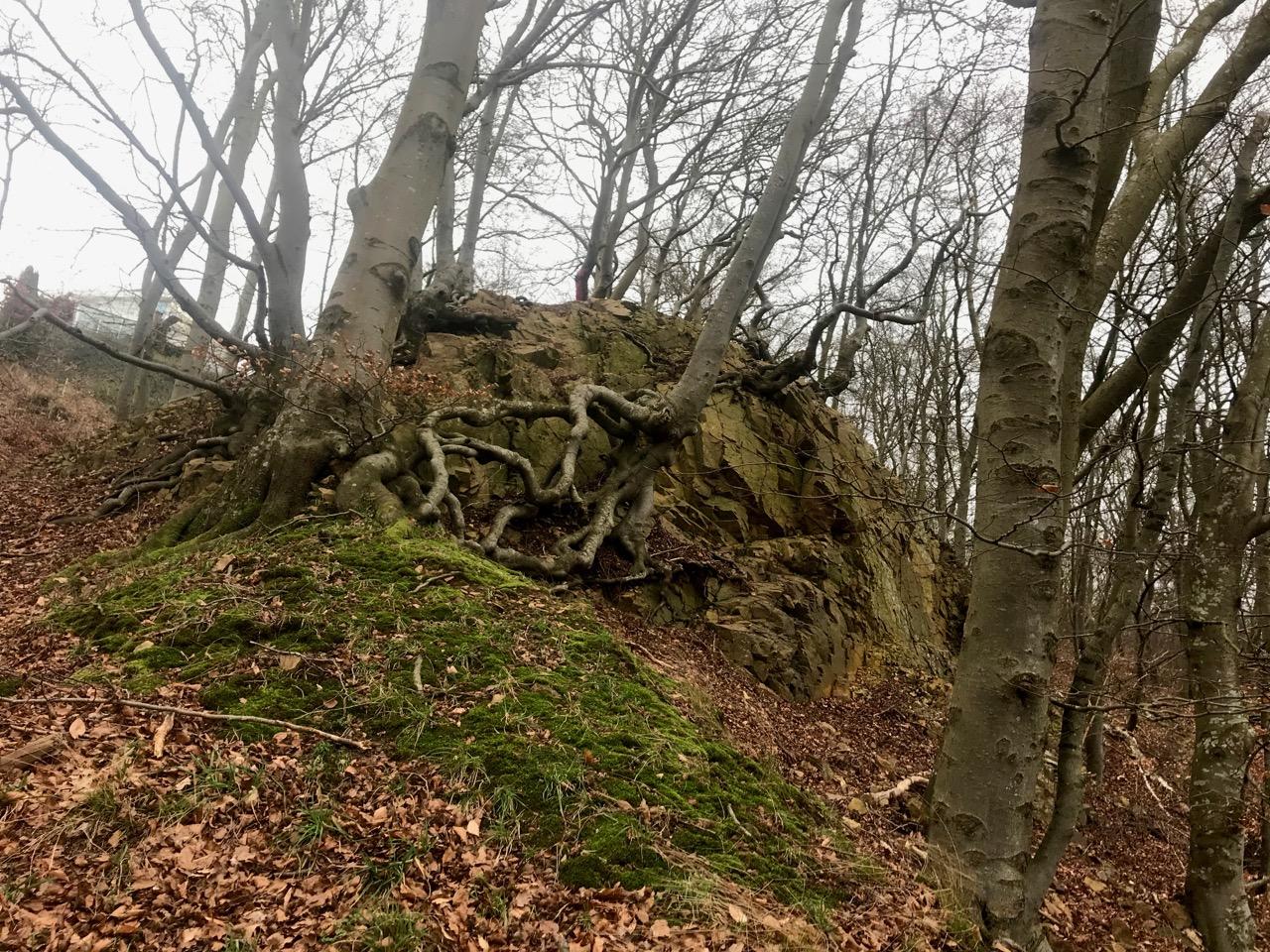 Åstorp Tingvalla Träd rötter